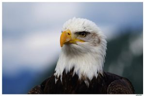 Bald Eagle by solo1861