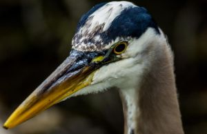 Heron by nigel3