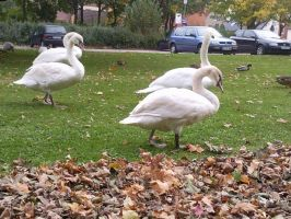 White Swans 11 by Fea-Fanuilos-Stock