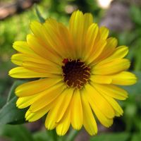 Calendula - sunshine by miss-gardener