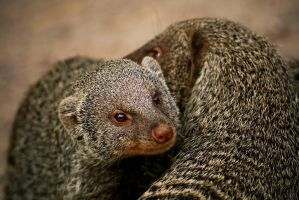 Banded Mongoose by beddiz