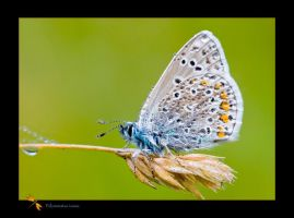 Common Blue by kodo34