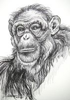 Chimpanzee Portrait 2 by HouseofChabrier