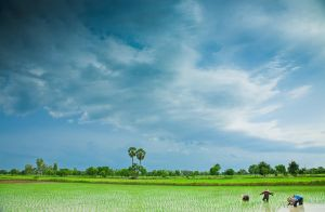 rice fields by miemo