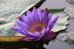 Water lily No. 5a by Amaries-stock