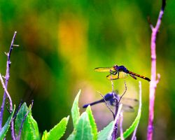 Dragonflies by Jittoku