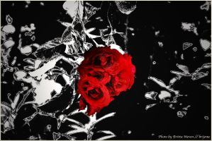 I never promised you a rose garden by brijome