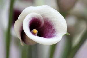 White and Purple Lily by CASPER1830