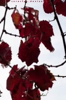 Red Autumn leaves by serasfan
