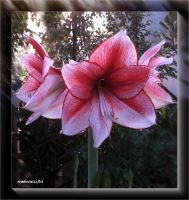Amaryllis -01--2013-12-10 by rembrantt