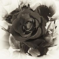 rose_jm2441bw by joergens-mi