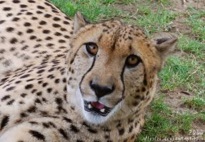 Cheetah: Look into the camera by Allerlei
