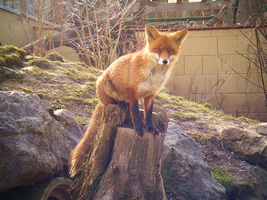 the red fox by Lucy-Redgrave