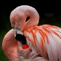 Pink Flamingo by La-Vita-a-Bella