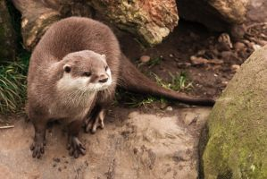 Otter by oakleafimages