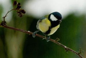 Great Tit in green-white winter land by steppeland