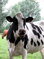 Cow 3 - 10-07-06 by Sweetpepper-stock