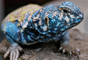 Lizard by CKPhotos