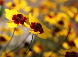 Coreopsis Flowers by lorac1631