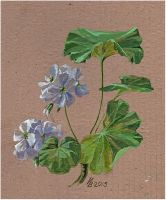 White blooming geranium by kosharik69