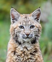 Cute Bobcat by White-Voodoo