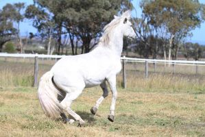HH Andy Stallion small rear by Chunga-Stock