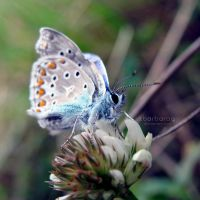 The Common Blue by xBarbaraG