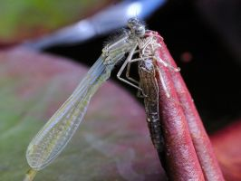 Newly Hatched Damselfly by teslaextreme