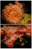 Strawberry Anemones by stephuhnoids