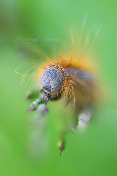 Red hair Caterpillar by vincentfavre