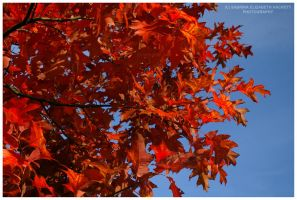 Leaves Dressed in Red by Hitomii