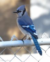 First Blue Jay by Brian-B-Photography