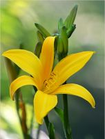 yellow lily by SvitakovaEva