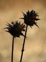 just thistle by hummingbbird