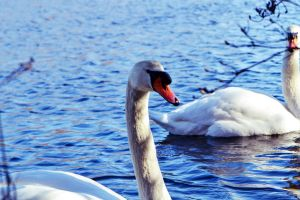 Swans at the Greenbelt Nature Preserve by WickedOwl514