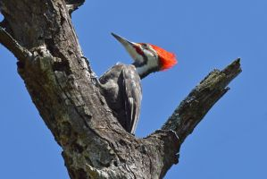 Male Pileated Woodpecker by wreckingball34
