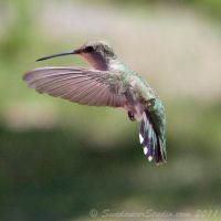 Classic Hummingbird by SundancerStudio