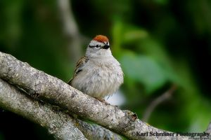 Chipping-Sparrow by KSPhotographic