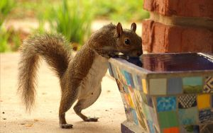 Thirsty Squirrel by skdennard