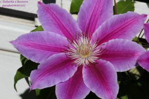 Clematis at the Park by panda69680102