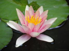 Pink Water Lily by ShipperTrish