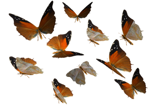Russet Flipper Butterfly PNG by madetobeunique