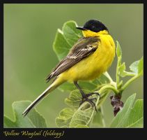 Black-headed Wagtail by Jamie-MacArthur