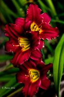 Maroon Day Lilies by thriftyredhead