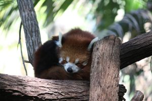 Red Panda.2_Mind-Matter by Mind-Matter
