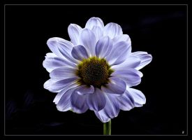 Flowers  Mb09 by alfa