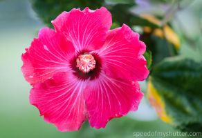 Good morning hibiscus by speedofmyshutter