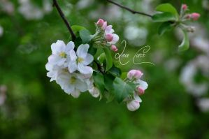 Apple blossom by lea-carr
