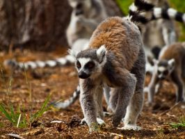 Ring Tailed Lemur 00 - July 11 by mszafran