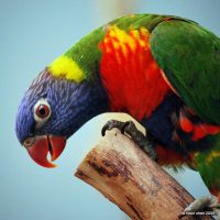 Rainbow Lorikeet by meihua